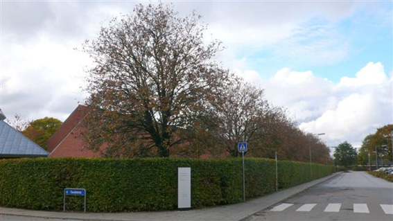 Sindal Skole v. Islandsgade. Seljerøn (Sorbus intermedia). s